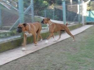 dois cães da raça boxer passeando no lar temporário para cães