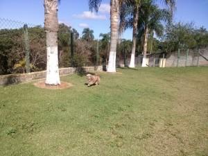 cachorro correndo no campo de hotel para cachorros
