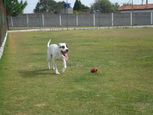 Pitbull branco brincando no lar temporário para cães